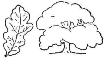 Навчись робити нарис листків і обрисів дерев, ось як цього дуба